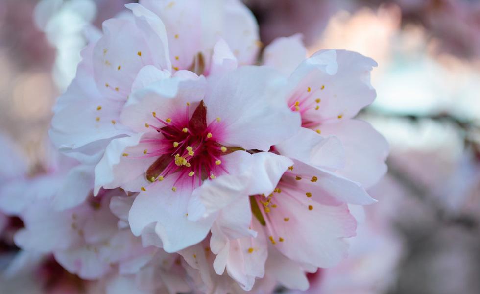 Flor del Almentro